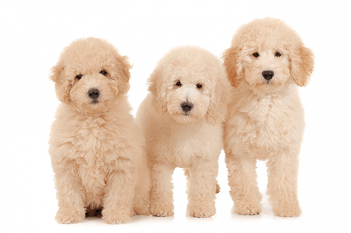 All About Goldendoodles Timber Rock Doodles