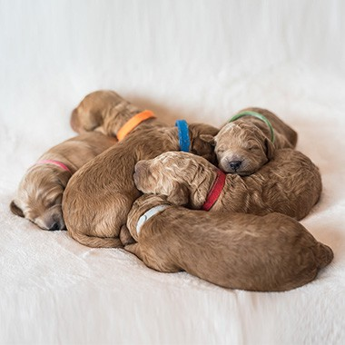 Timber Rock Doodle puppies